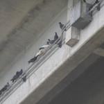 撃退ドットマン 高速道路高架下 鳩の糞害 福岡県福岡市